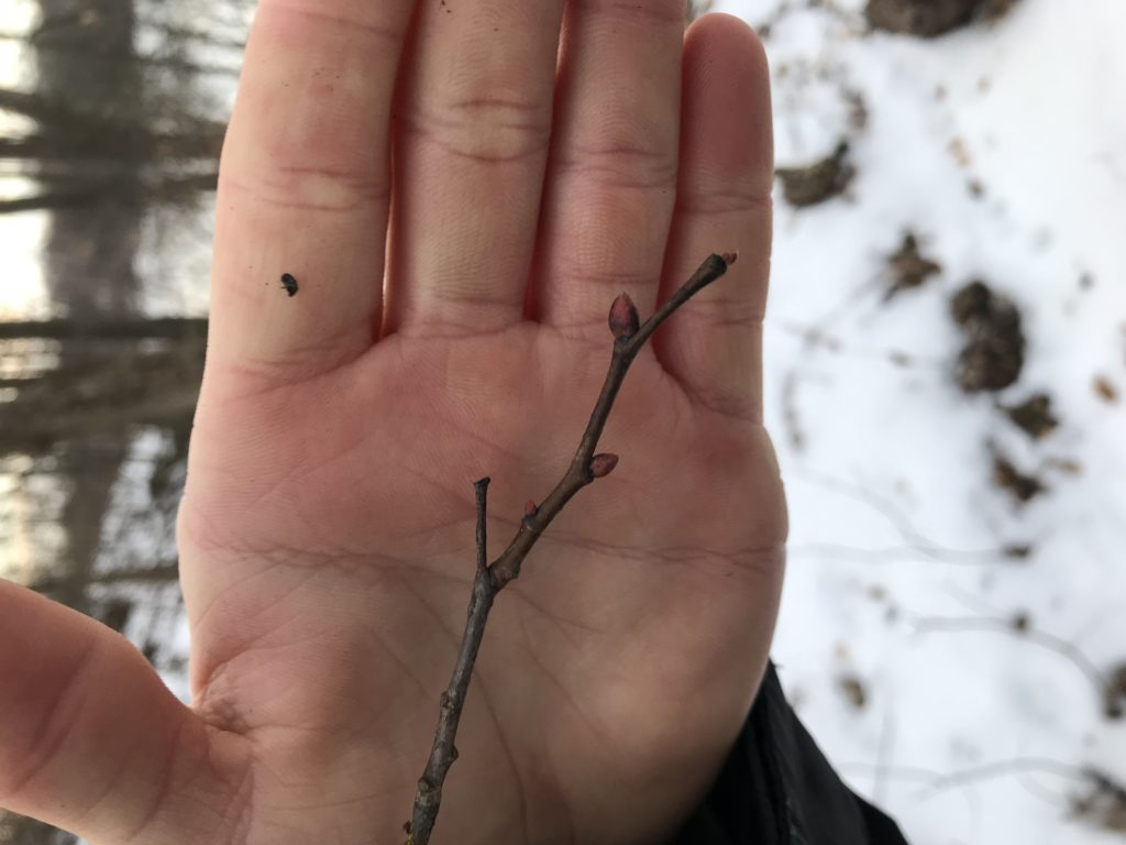 Winter Twig Identification