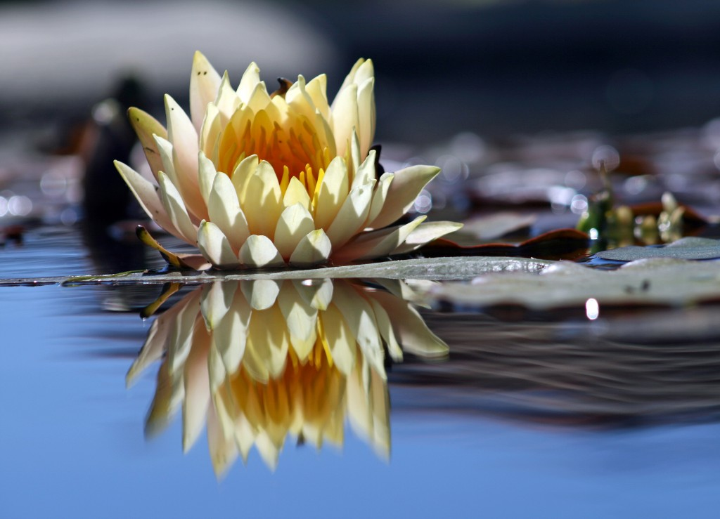 Lily on water with reflection