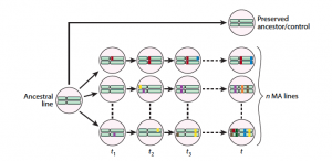 Mutation accumulation expt