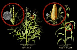 corn-and-teosinte_h1