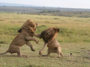 lions fighting - carole white_medium