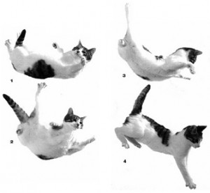 falling-cat-landing-photos-300x277