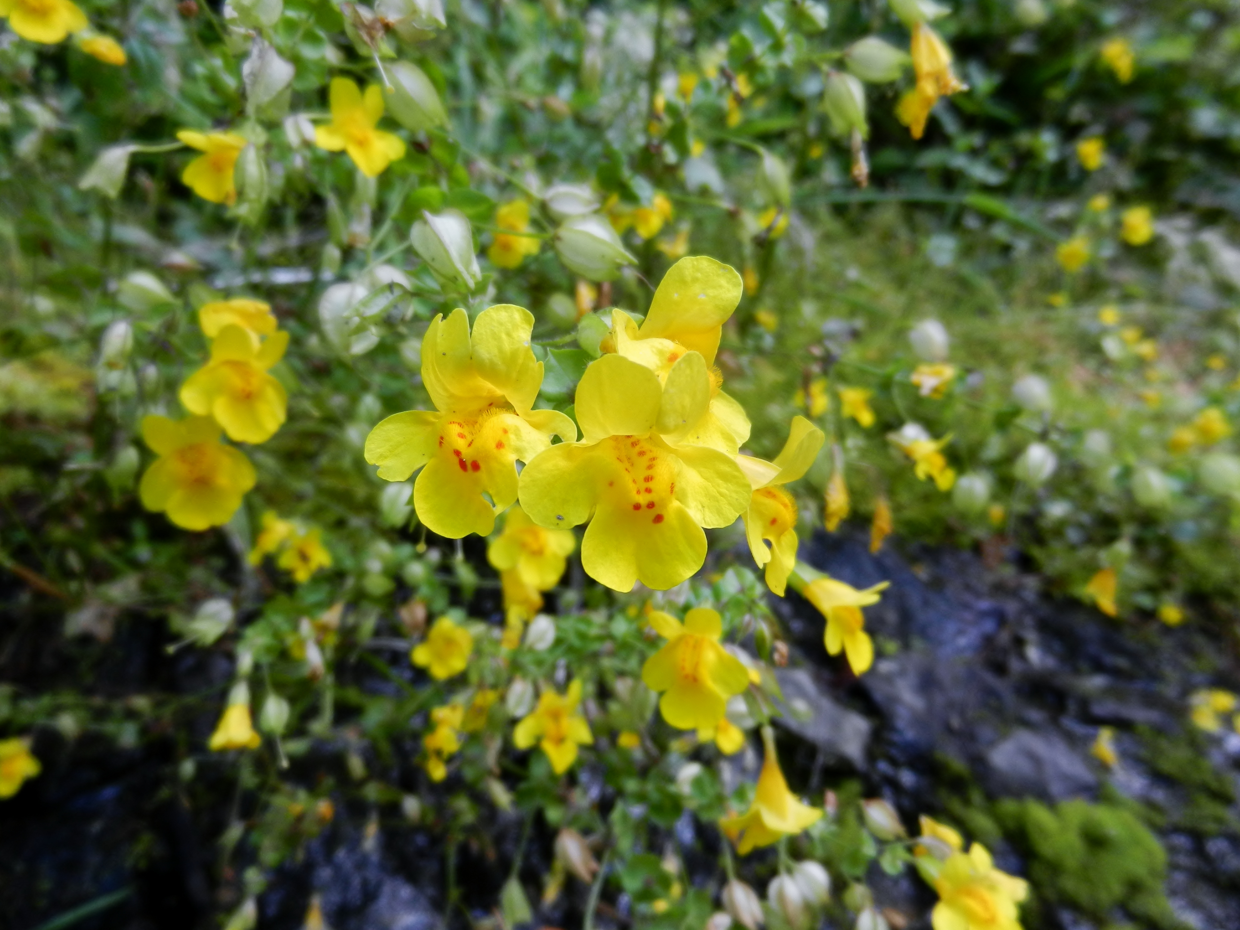 Group selection in Monkeyflowers Evolution in Structured Populations U