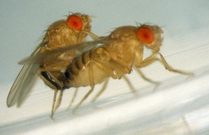 drosophila-mating