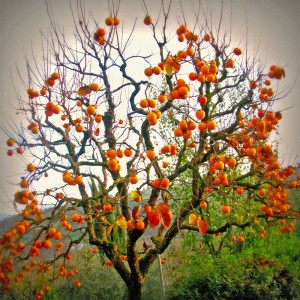 christmas-persimmon-tree