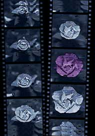 film strip of flower