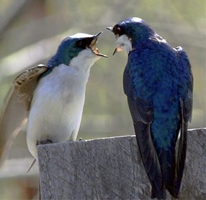 Tree swallows arguing.
