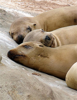Seals sleeping