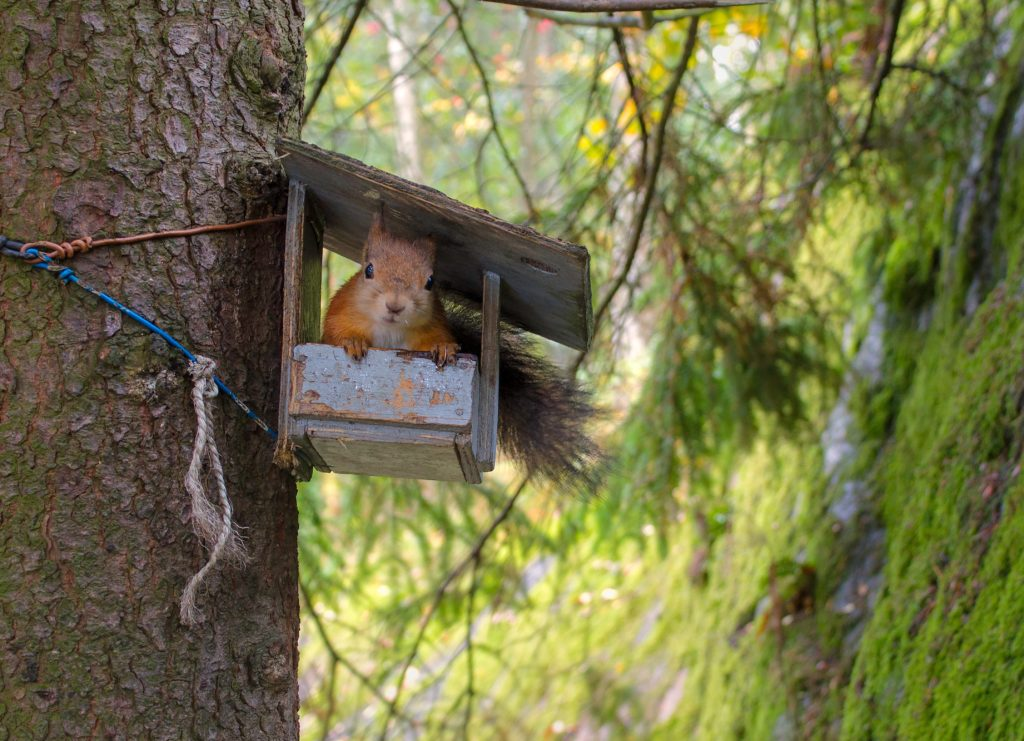 Red squirrel in bird feeder