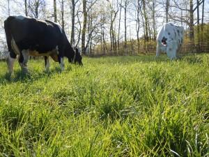 Dense spring pasture