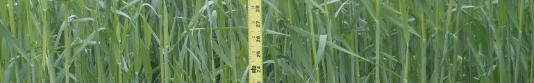 Cover Crops as Forage Crops…A Look at Winter Rye and Triticale