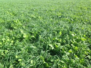 Fall 2016 Cover Crop Field Days