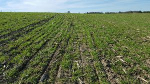 No-till alfalfa being planted into a cover crop and corn residue