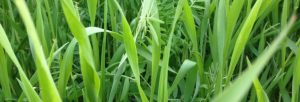 Mixed species cover crops up close