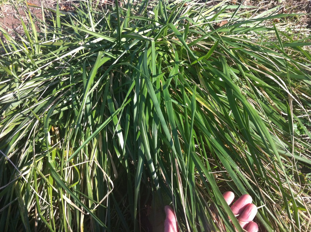 Tall Fescue: A Problematic Pasture Grass