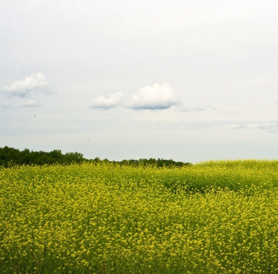 Mustard Cover Crops Offer Benefits Beyond Soil Health