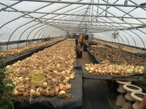 Onions laid out in a single layer for curing in a greenhouse.