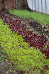 Greens close vert_Cheryl