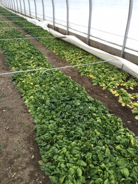 http://blog.uvm.edu/farmclim/files/2016/03/greens-in-hoophouse-intervale.jpg