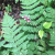 Site icon for Fern ~ Phenology Blog