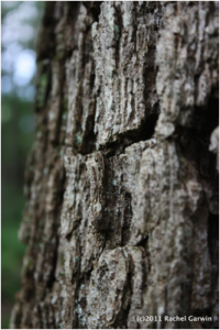 flaky oak bark, © 2011 Rachel Garwin