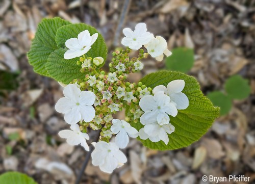 Viburnum-lantanoides-in-bloom-860x622