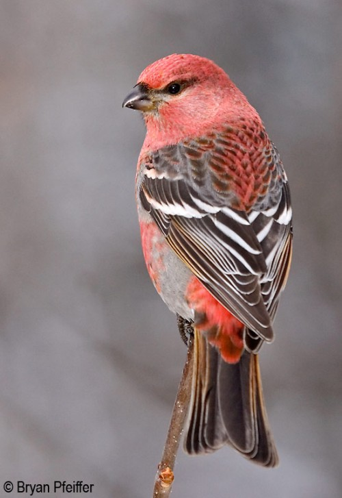 pinegrosbeak-550x800