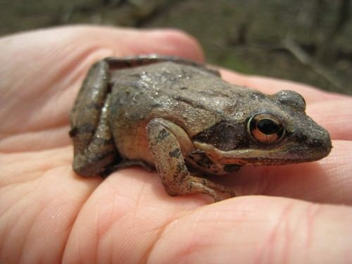 A wood frog found in April along the floodplain of the LaPlatte.