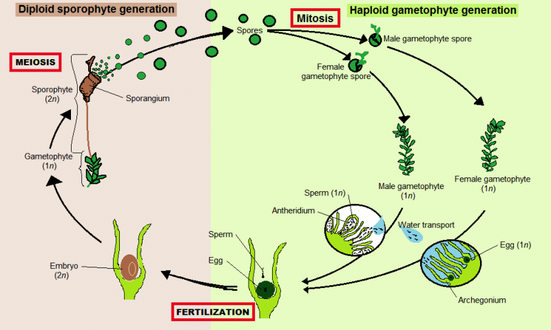 The moss life cycle. The green moss is the gametophyte, which gives rise to sperm and eggs, which combine to grow a sporophyte from the tip of the gametophyte. The spores germinate to grow more gametophytes (the green moss). By Htpaul. Image licensed under creative commons by Wikipedia.