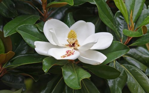 Magnolia_flower_Duke_campus