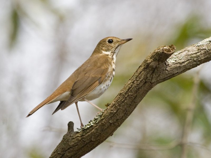 HermitThrush-PFEIFFER