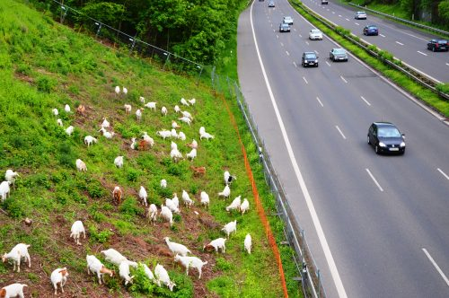 Goats_in_landscape_management_at_German_Highway_A_59._Spielvogel_2013