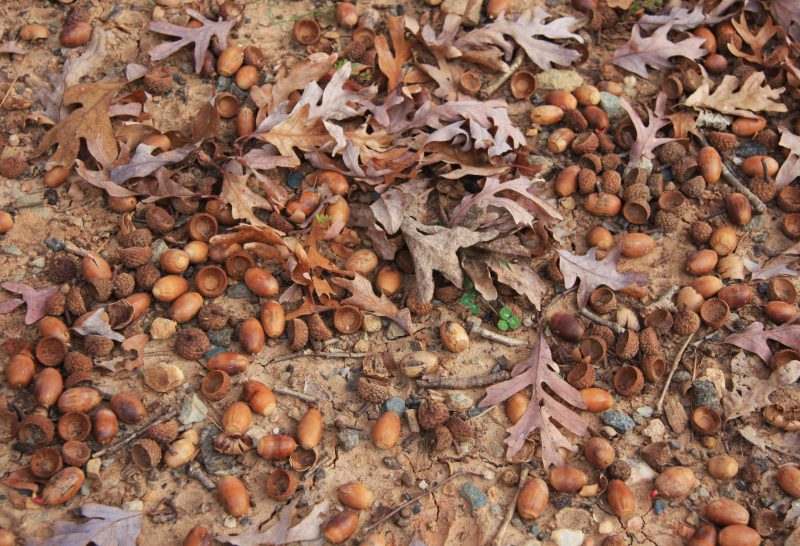 white_oak_quercus_alba_prolific_acorns