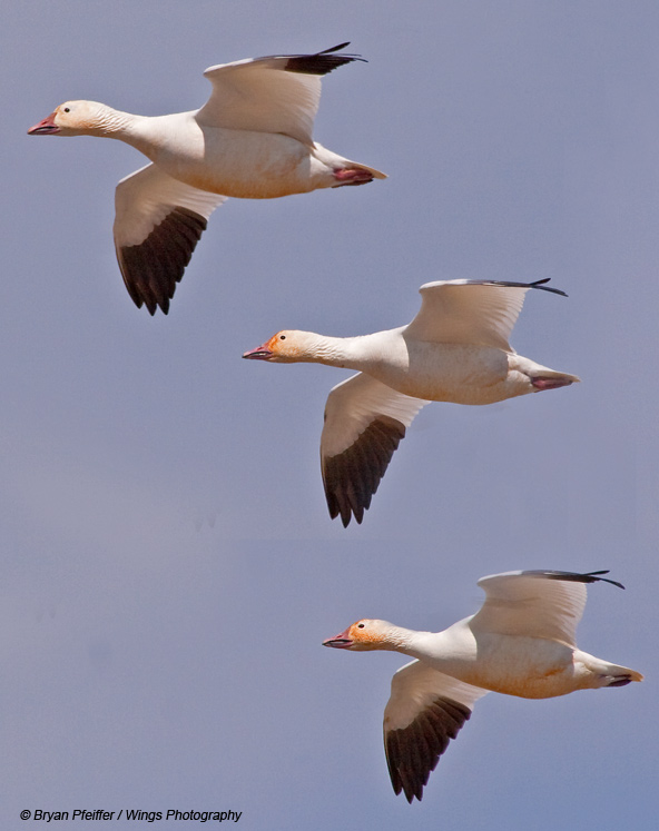 Lessons from Snow Geese