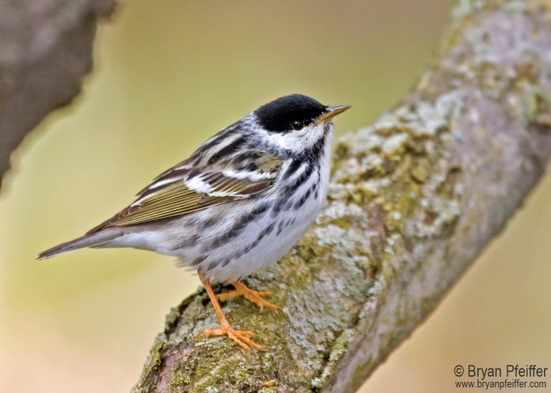 A Blackpoll Warbler's Daring Trans-Atlantic Flight