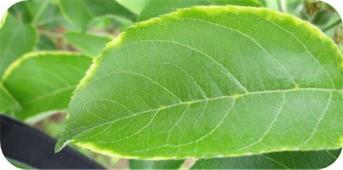 Margiunal yellowing on apple leaves