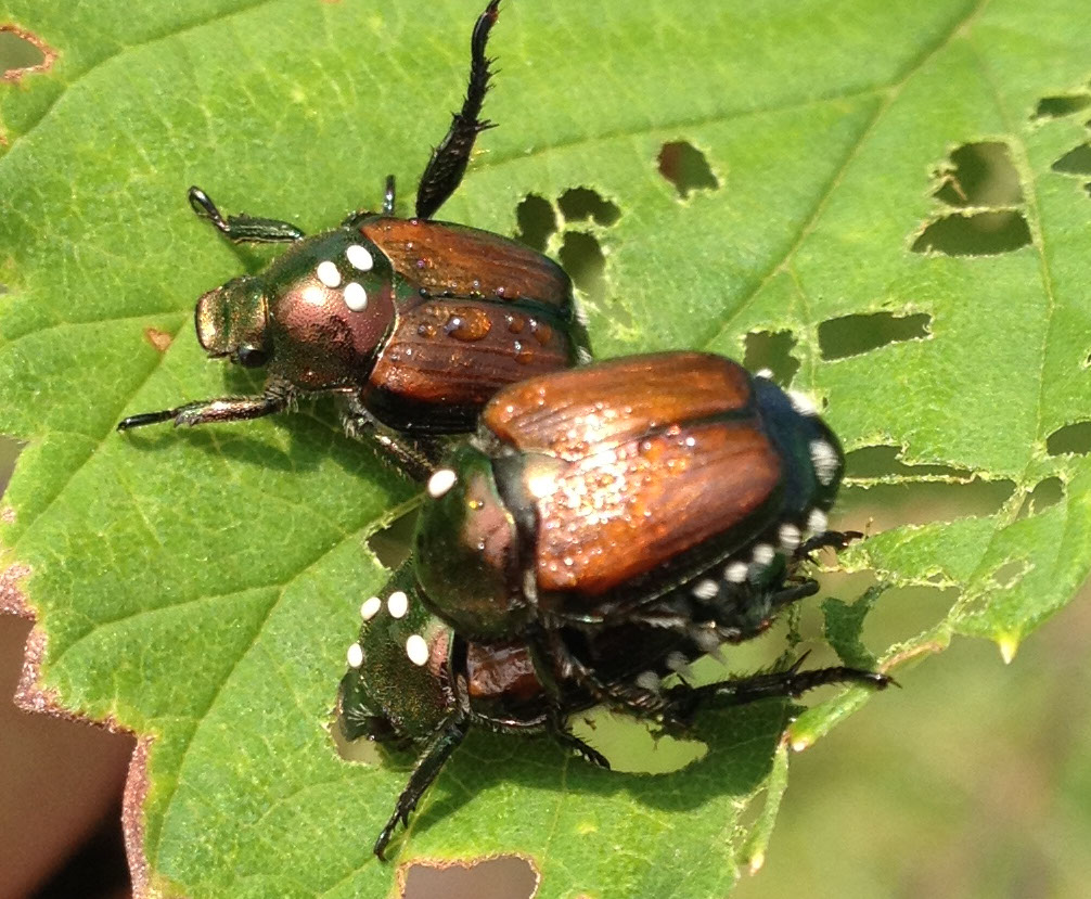Having trouble with Japanese Beetles? : What's Hoppening