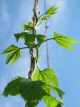 hop-branch