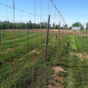 Training hops at Borderview Research Farm.