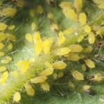 Hop aphids.