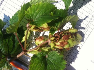 Dark brown bracts are a symptom of hop downy mildew.