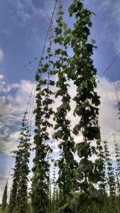 Main hop bines reach the top wire (6/29/16)!