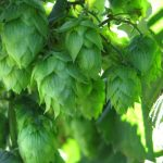 Recruiting NE Hop Growers for Pest and Nutrient Management Project