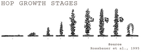 Hop Plant Growth Phases from Spring to Summer