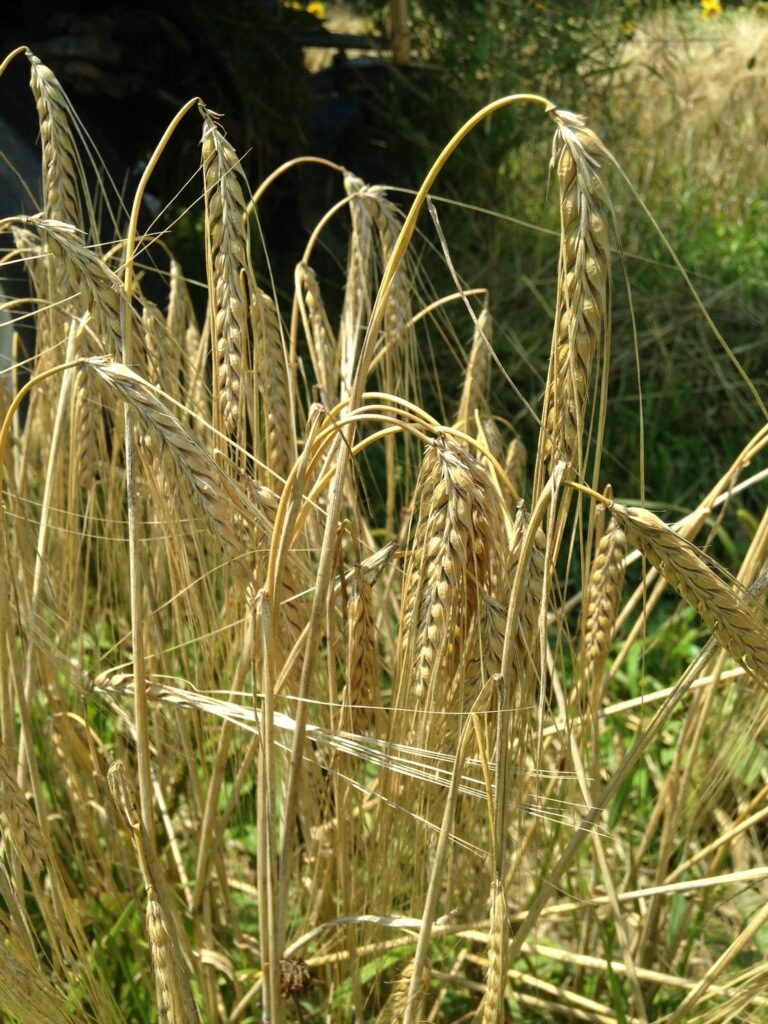 Malting Barley Field Day, Aug 22
