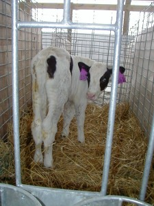 calf in wire panel pen with cardboard sheets between sides of adjacent pens