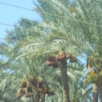 Heading back. Date palms almost in fruit.