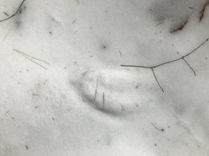 Wildlife Tracks - Early February