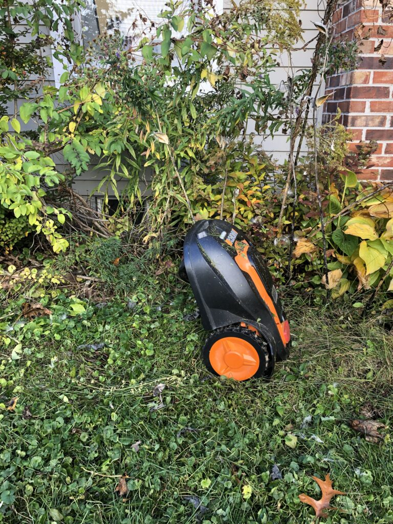 Robotic mower drives up a milkweed plant