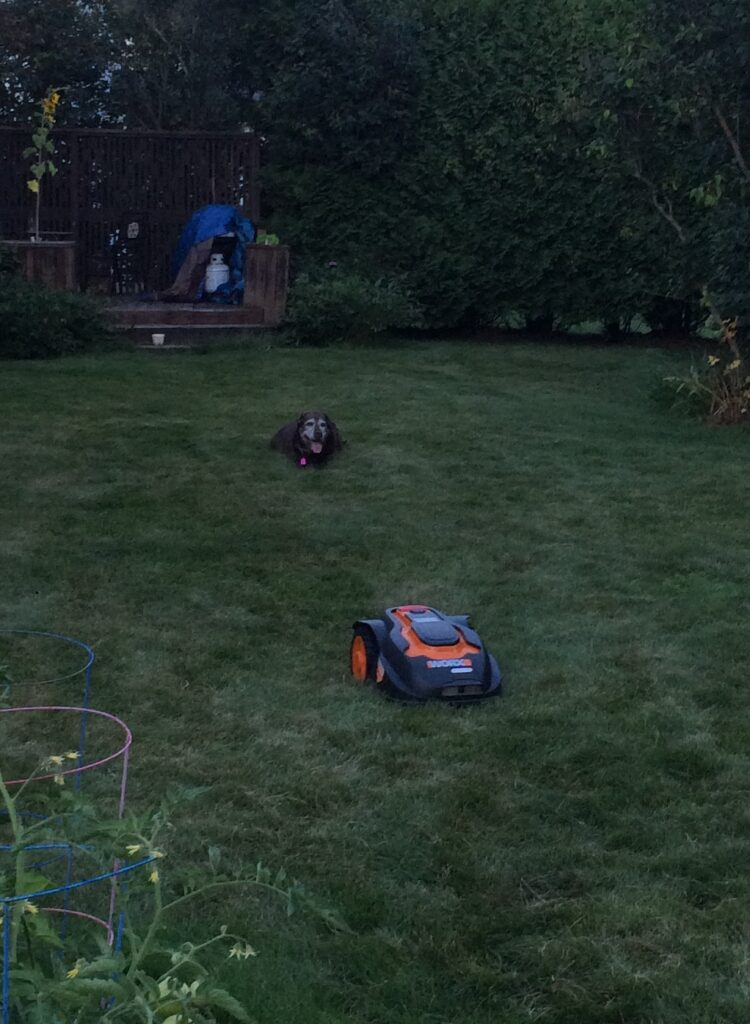 Photo of a dog and a robotic mower.